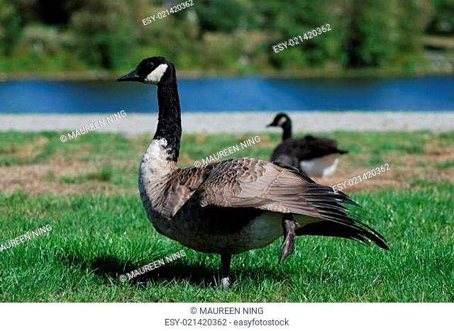 Canadian goose near the lake