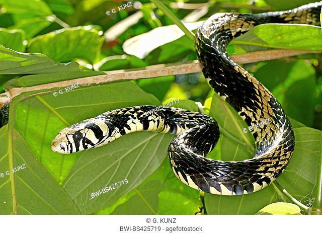 Tropical chicken snake, Tiger Ratsnake (Spilotes pullatus), Portrait, Costa Rica