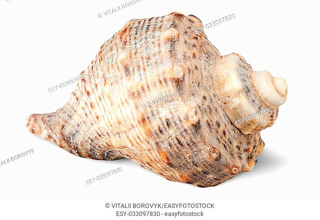 Seashell rapana side view isolated on white background
