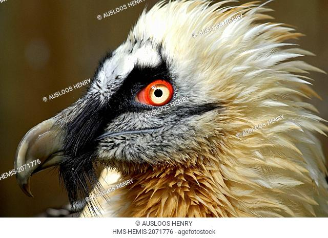 Bearded Vulture (Gypaetus barbatus), portrait
