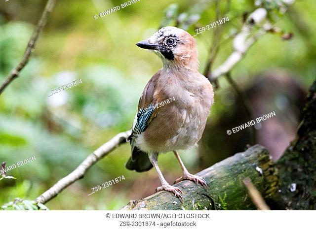 Jay (Garrulus glandarius) Scotland, UK