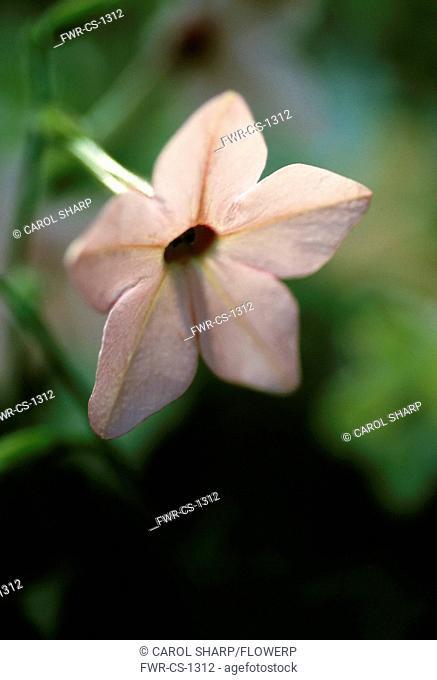 Nicotiana x sanderae 'Salmon Pink', Tobacco plant, Pink subject