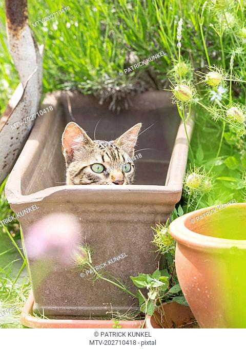 Domestic cat lying in an empty plant pot