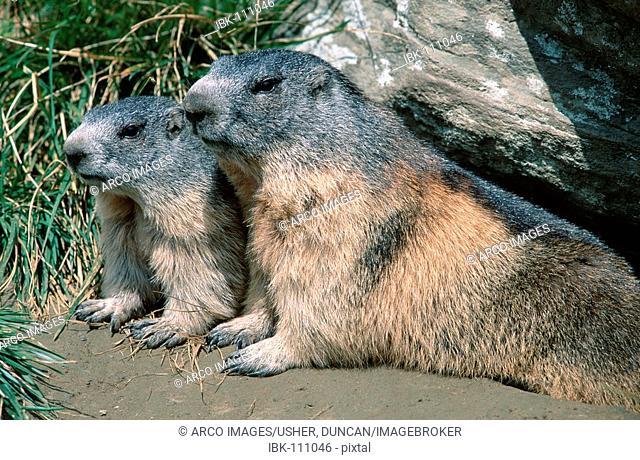 Alpine Marmots, Austria / (Marmota marmota)