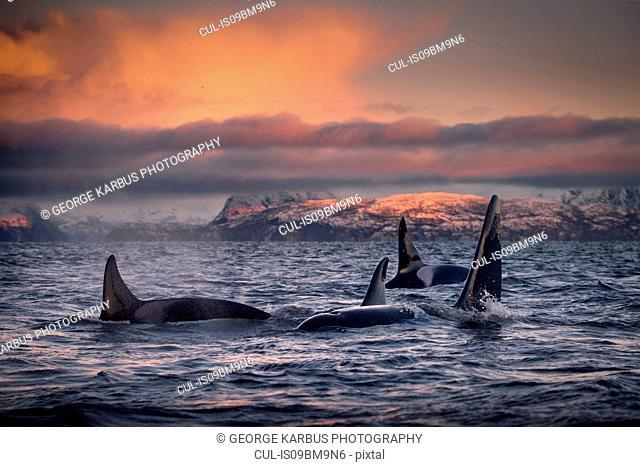 Orcas, killer whales, Skjervøy, Troms, Norway