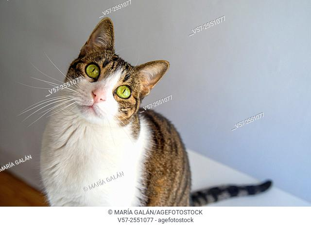 Tabby and white cat looking at the camera