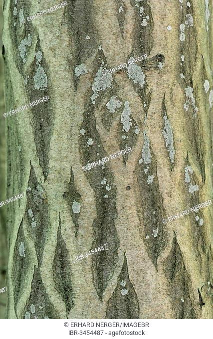Bark of a European Hornbeam (Carpinus betulus)