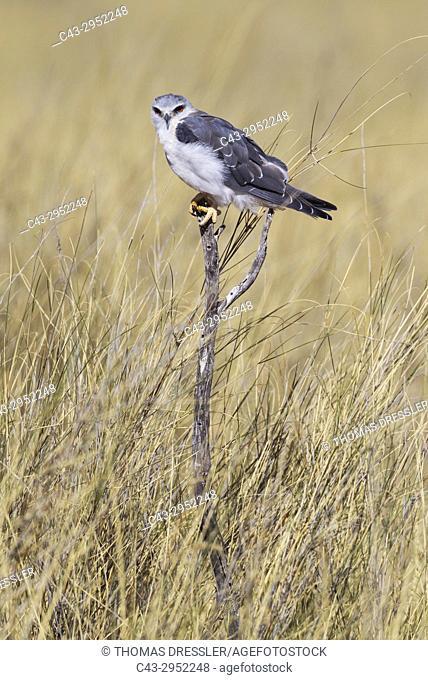 Black-winged Kite (Elanus caeruleus). Kalahari Desert, Kgalagadi Transfrontier Park, South Africa