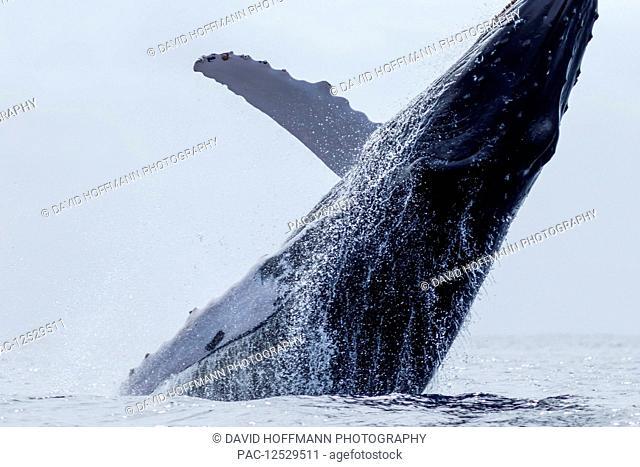 Humpback whale (Megaptera novaeangliae) breaching; Lahaina, Maui, Hawaii, United States of America