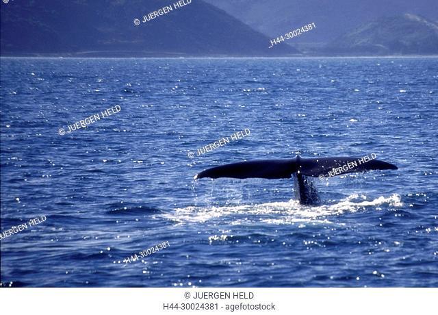 Neuseeland Suedinsel Kaikoura, Walbeobachtung,Schwanzflosse | south island Kaikoura Marlborough whale watching