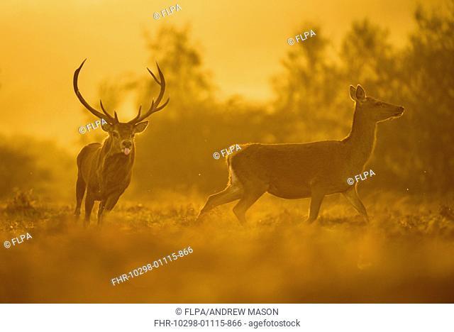 Red Deer (Cervus elaphus) mature stag, chasing hind at dusk, during rutting season, Bradgate Park, Leicestershire, England, October