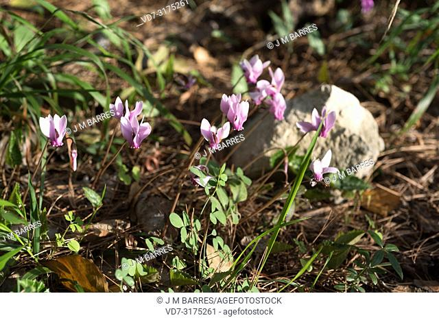 Purple cyclamen (Cyclamen purpurascens) is a perennial herb native to deciduous forests of Europe, from France to Russia