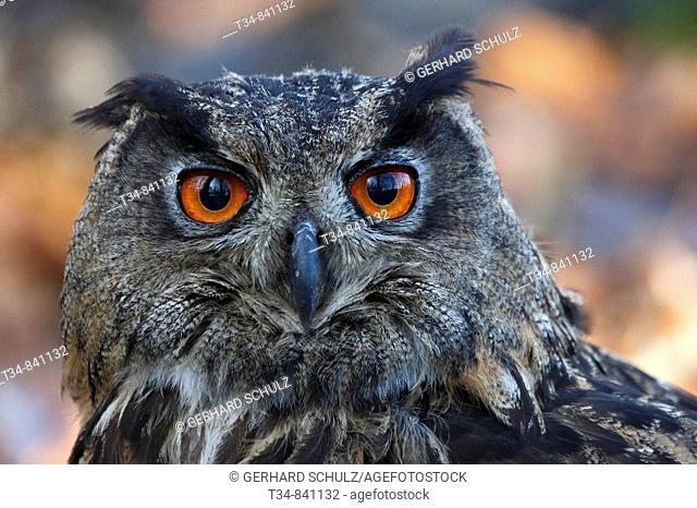 Eurasian Eagle-Owl (Bubo bubo), Schleswig-Holstein, Germany