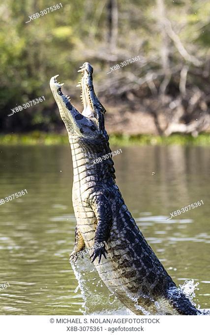 A yacare caiman, Caiman yacare, being baited to leap, Pousado Rio Claro, Brazil