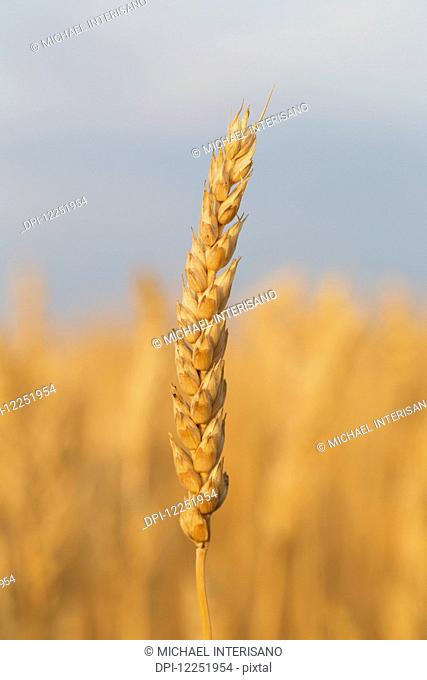 Close up of a ripe wheat head at sunrise with blue sky in the background, South of Strathmore; Alberta, Canada
