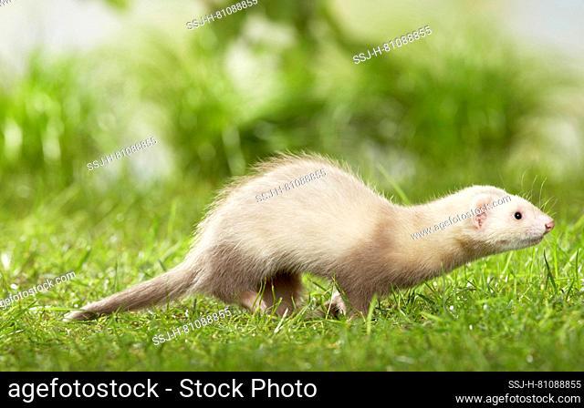 Ferret (Mustela putorius furo). Juvenile running in a meadow. Germany