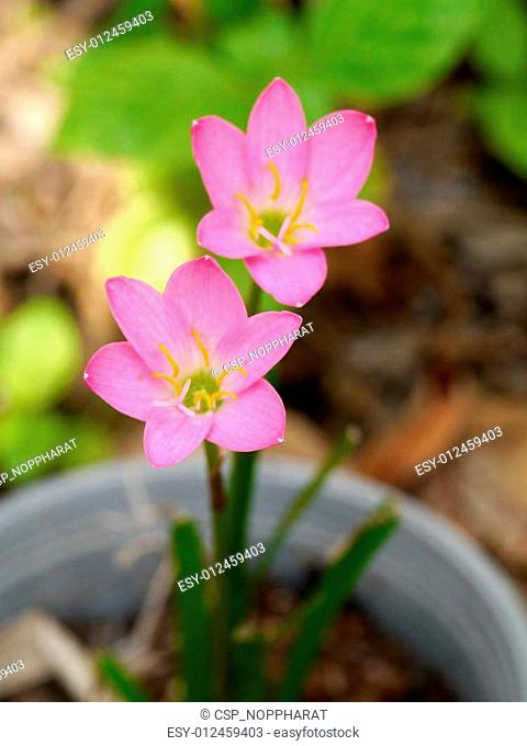 Rain Lily (Fairy Lily, Zephyranthes rosea) blooming in rainy season