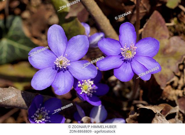 Hepatica nobilis, Anemone hepatica
