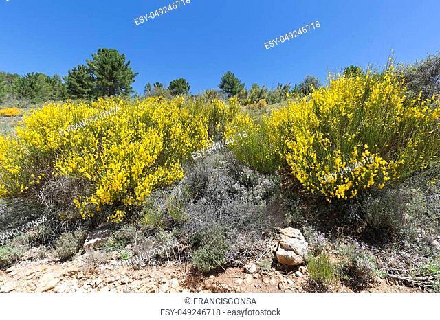 Hiniesta in spring with its yellow flowers. Scientific name is Genista cinerea. Photo taken in the Sierra del Segura, Albacete, Spain