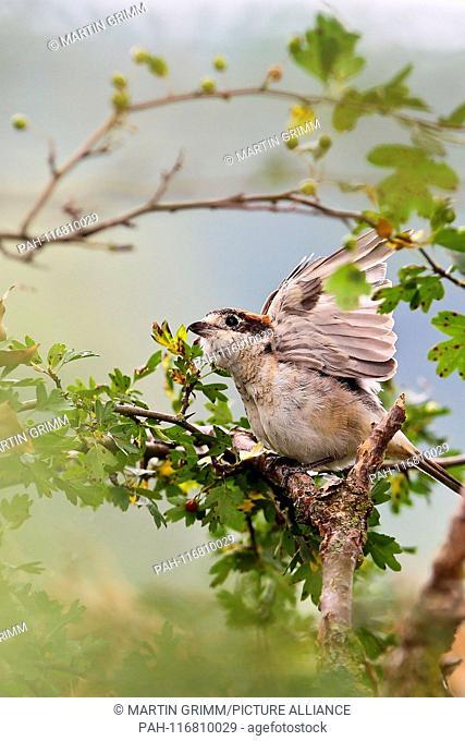 Woodchat Shrike (Lanius senator), male perched in hedgerow, Bavaria, Germany | usage worldwide. - /Bayern/Germany
