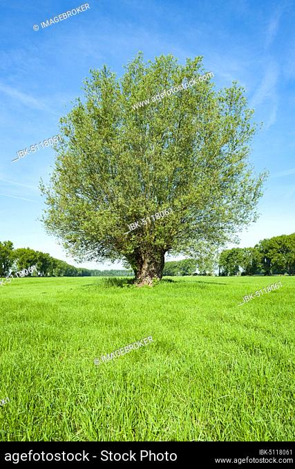 White willow (Salix alba), solitaire in spring, Thuringia, Germany, Europe