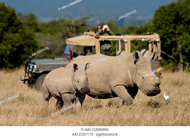Tourists looking at southern white rhino with baby in special rhino sanctuary in Ol Pejeta Conservancy; Laikipia Country, Kenya