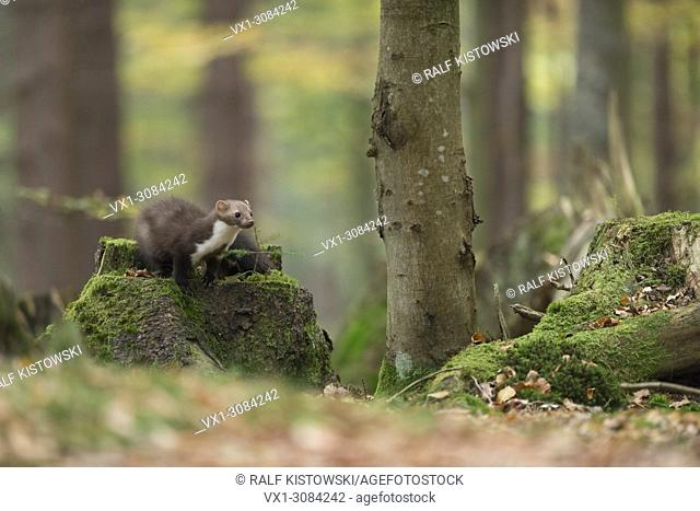 Beech Marten / Stone Marten (Martes foina), sitting on a tree stub, hunting in nice surrounding of a natural forest, autumn colors, Europe