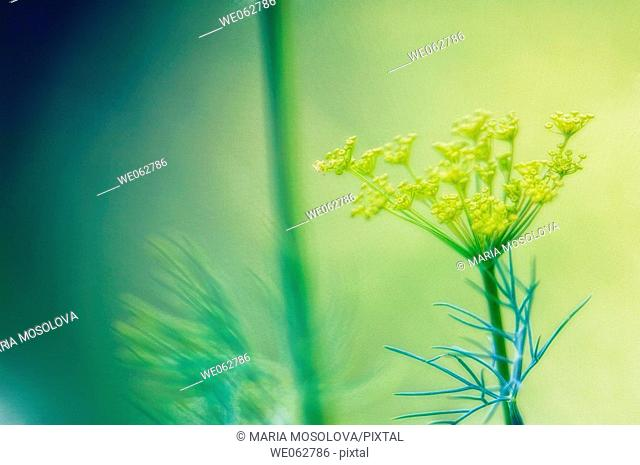 Dill Herb in Bloom. Anethum graveolens. June 2005, Maryland, USA