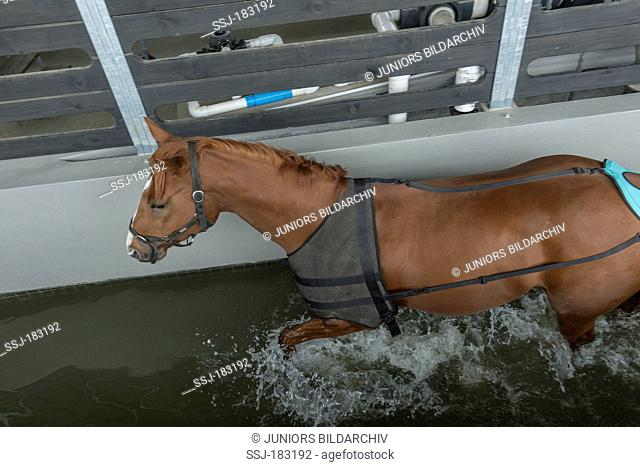 Thoroughbred in a water walker. New Zealand