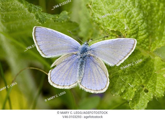 Eros Blue, Polyommatus eros, similar to Common Blue, Polyommatus icarus. Flies single generation from June to September. Host plants lotus sp and Oxytropis...