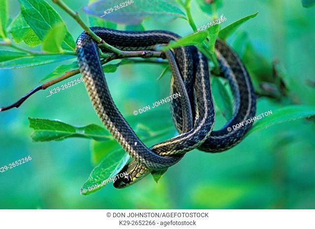 Common garter snake (Thamnophis sirtalis) Resting in shrub, Ontario, Canada