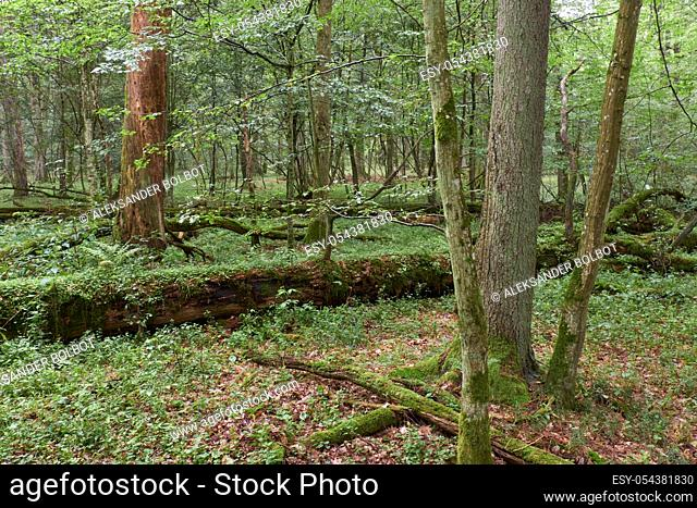 Summertime deciduous primeval forest with old oak tree broken and spruce in foreground, Bilowieza Forest, Poland, Europe