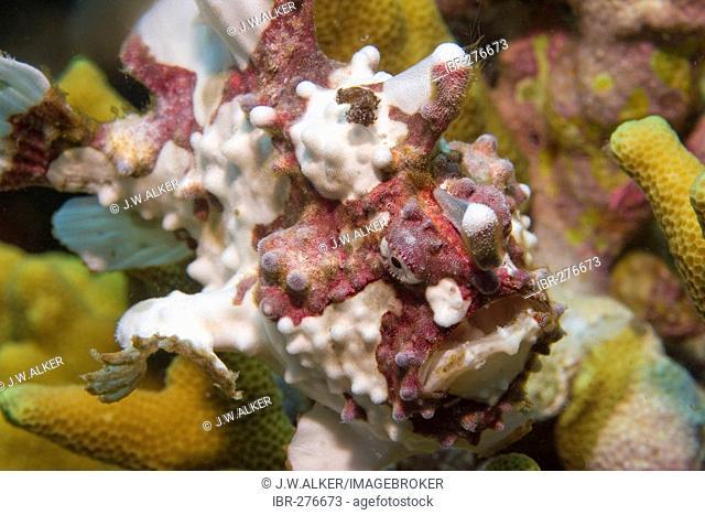 Dwarty frogfish (Antennarius maculatus)
