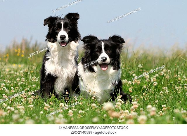 Dog Border Collie / adult and puppy (black and white) in a meadow