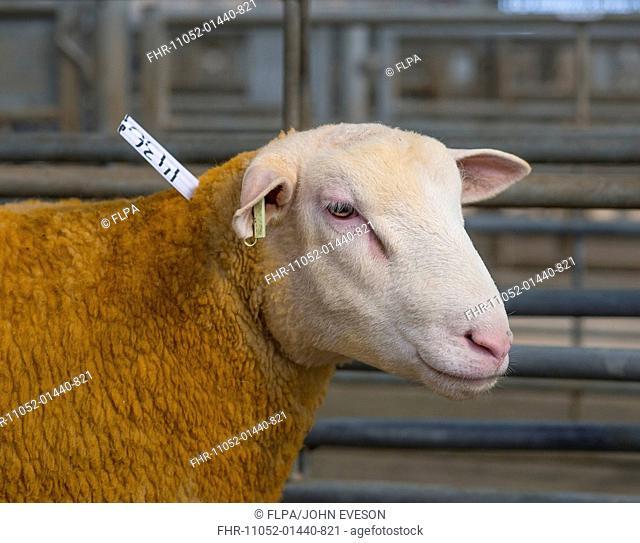 Domestic Sheep, Berrichon Du Cher ewe, close-up of head, in pen at livestock market, Welshpool Livestock Market, Welshpool, Powys, Wales, October