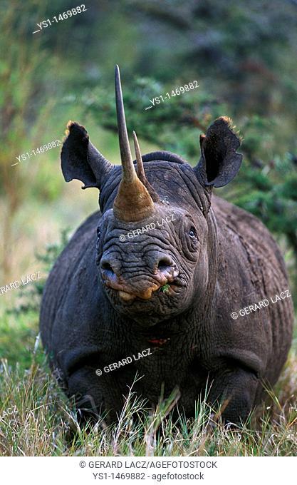 Black Rhinoceros, diceros bicornis, Adult, Kenya