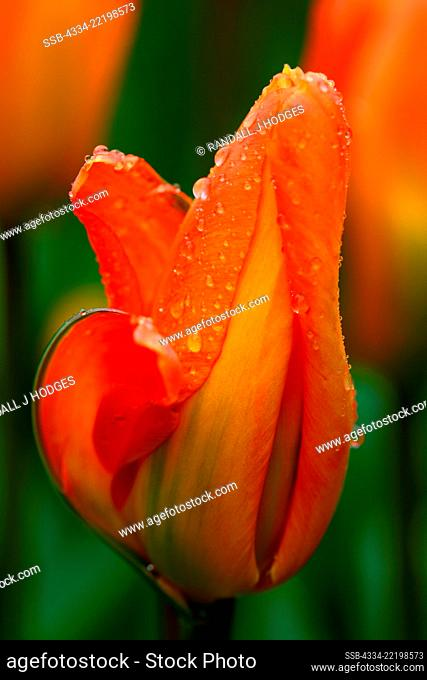 Raindrops on Tulip from Roozengaarde Garden in Skagit Valley Washington