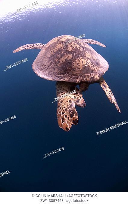 Green Turtle (Chelonia mydas, Cheloniidae family) swimming, Midreef dive site, Sipadan Island, Sabah, Malaysia