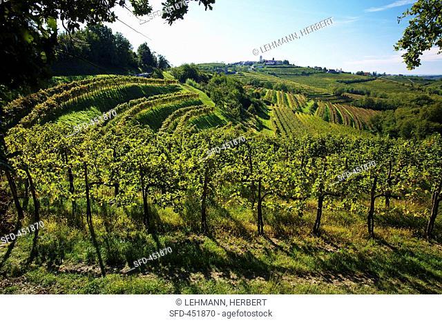 A vineyard near Dobrovo, Slovenia