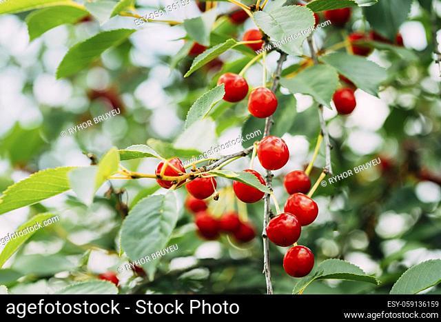 Red Ripe Cherry Berries Prunus subg. Cerasus on tree In Summer Vegetable Garden