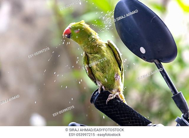 Green ringneck parrot shakes head to get rid of water