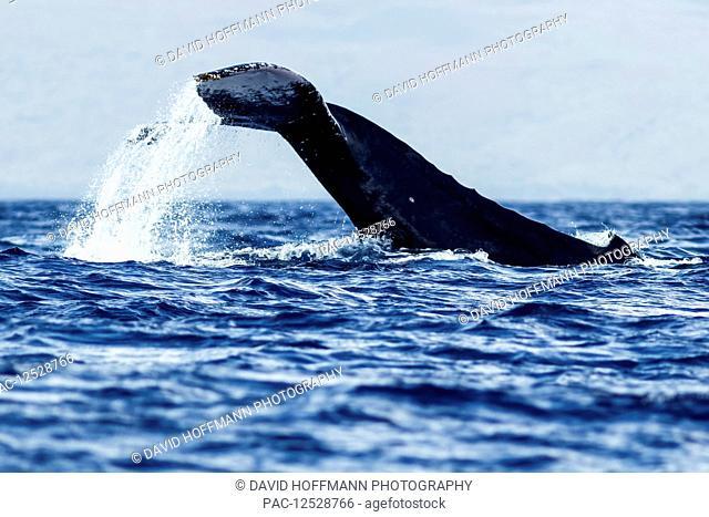 Humpback whale (Megaptera novaeangliae) tail slapping; Lahaina, Maui, Hawaii, United States of America