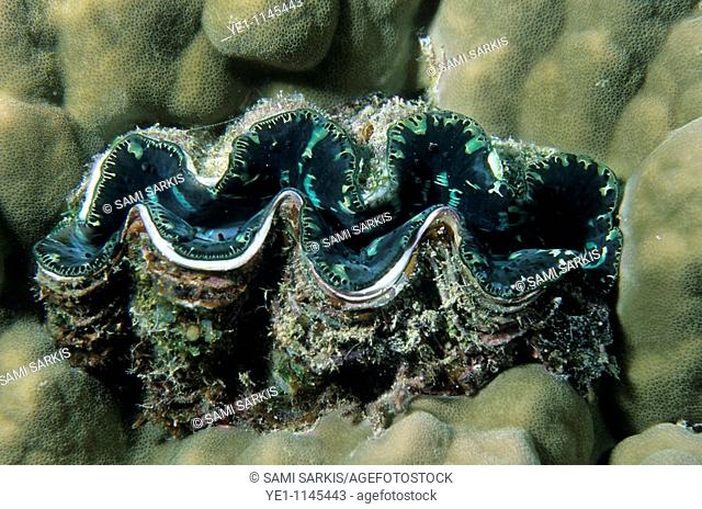 Giant Clam sitting on a soft bed of coral, Snark Forest, Noumea Lagoon, New Caledonia