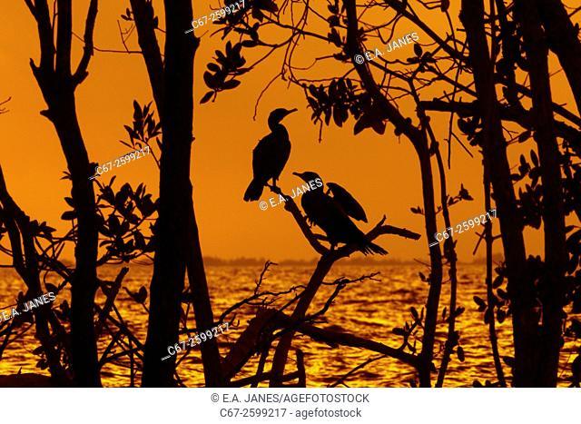 Double-crested Cormorant Phalacrocorax auritus Fort Myers beach Florida USA