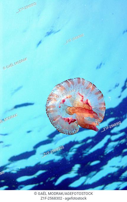 Small pink stinging jellyfish in Mediterranean sea. Pelagia noctiluca