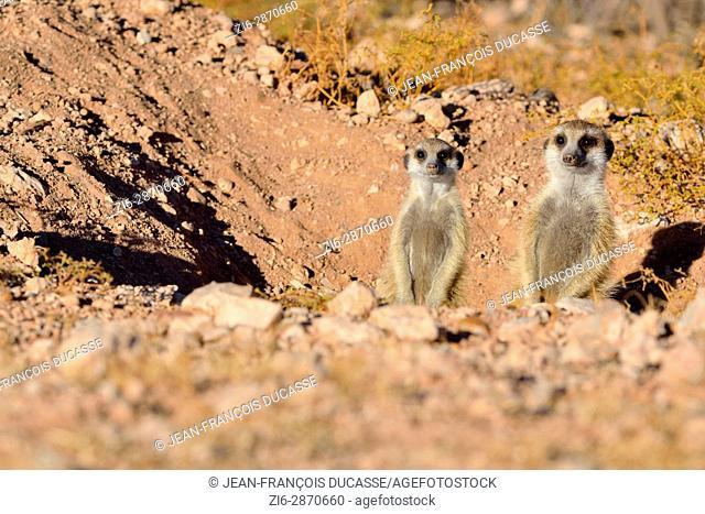 Meerkats (Suricata suricatta), adult with young at burrow entrance, Kalahari desert, Hardap Region, Namibia, Africa