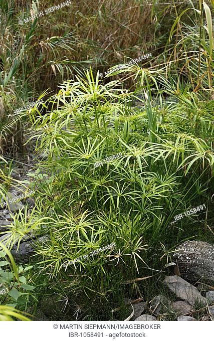 Umbrella papyrus or umbrella palm (Cyperus papyrus), Barranco de Arure, La Gomera, Canary Islands, Spain, Europe