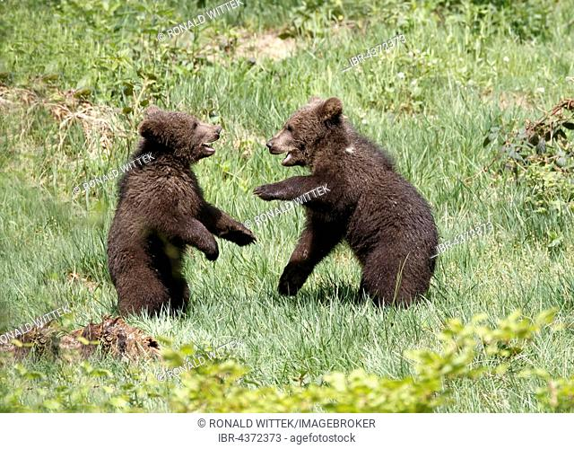 Brown bear (Ursus arctos), two cubs playing, captive, Bavarian Forest National Park, Bavaria, Germany