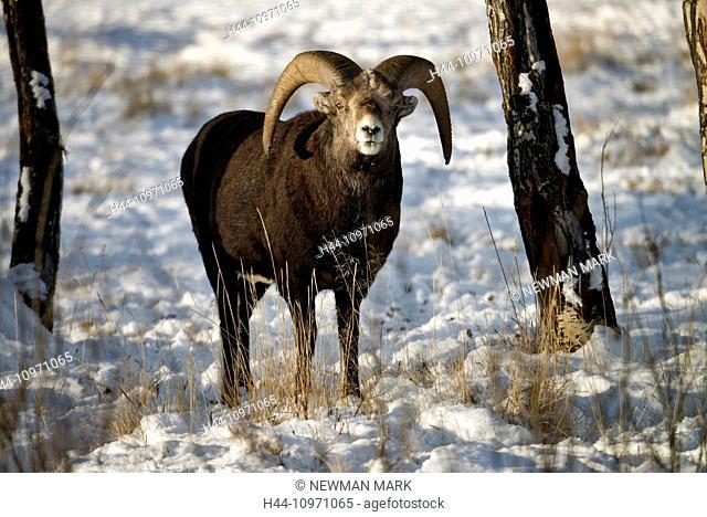 stone sheep, animal, Yukon, wildlife, preserve, Canada