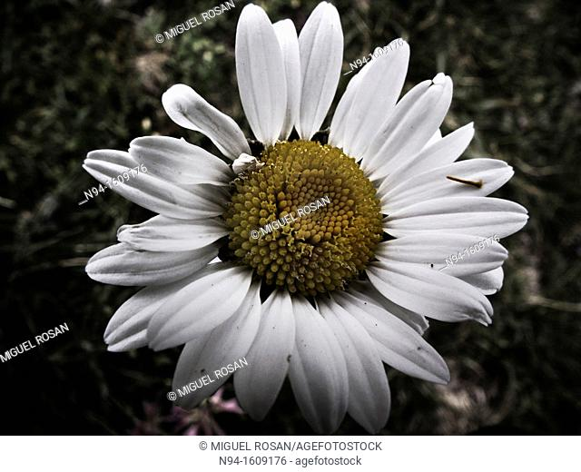 Closeup of a daisy with all its white leaves